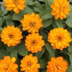 Yahoo!ハニーミント【80円!】ジニア ダブルザハラ ブライトオレンジ 9cmポット苗 かわいいお花が咲きます♪