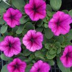 【当店農場生産】ペチュニア マンボGP オーキッドベイン(花なし苗) 9cmポット苗