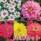 Yahoo!ハニーミント【10鉢セット】ジニア5種類×2苗セット かわいいお花が咲きます♪