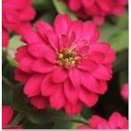 Yahoo!ハニーミント【50円!】ジニア ダブルザハラ チェリー 9cmポット苗 かわいいお花が咲きます♪