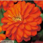 Yahoo!ハニーミント【80円!】ジニア ダブルザハラ ファイヤー 9cmポット苗 かわいいお花が咲きます♪
