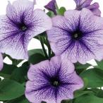 【当店農場生産】ペチュニア エコチュニア ブルーベイン(花なし苗) 9cmポット苗