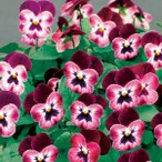 【100円均一】ビオラ ももか わいん 9cmポット苗 花壇や寄せ植えに♪
