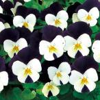 【100円均一】ビオラ ももか ぱんだ 9cmポット苗 花壇や寄せ植えに♪
