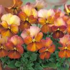 【100円均一】小輪パンジー わらく アンティークブラウン 9cmポット苗 花壇や寄せ植えに♪