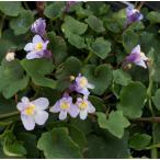 【当店農場生産】シンバラリア ムラリス コリセウムアイビー 9cmポット苗 暑さ寒さに強く長く咲く♪