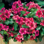 【当店農場生産】変わり咲きビンカ タトゥーブラックチェリー 9cmポット苗(花なし) 花の色が変化するビンカ