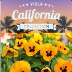 【当店農場生産】プレミアムビオラ カリフォルニア オレンジブロッチ(つぼみ付苗) 9cmポット苗 花壇や寄せ植えに♪