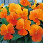 【当店農場生産】ビオラ ももか みかん(花なし苗) 9cmポット苗 花壇や寄せ植えに♪