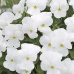 【当店農場生産】ビオラ ももか しろ(花なし苗) 9cmポット苗 花壇や寄せ植えに♪
