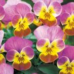 【当店農場生産】ビオラ ビビ マロンアンティーク(花なし苗) 9cmポット苗 花壇や寄せ植えに♪