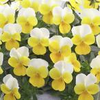 【当店農場生産】ビオラ フローラルパワー イエロービーコン(花なし苗) 9cmポット苗 花壇や寄せ植えに♪