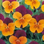 【当店農場生産】ビオラ フローラルパワー オレンジレッドウイング(花なし苗) 9cmポット苗 花壇や寄せ植えに♪