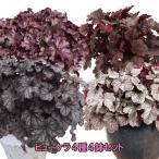 【当店農場生産】ヒューケラ ドルチェ 4種類セット PW 寒さに超強い!