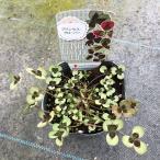 【当店農場生産】幸せを呼ぶ☆プリンセスクローバー レオノア 9cmポット苗 耐寒性多年草