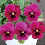 【当店農場生産】小輪パンジー わらく ルビーブロッチ(花なし苗) 9cmポット苗 花壇や寄せ植えに♪