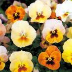 【当店農場生産】小輪パンジー わらく アプリコットティー(花なし苗) 9cmポット苗 花壇や寄せ植えに♪