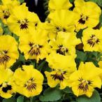 【当店農場生産】パンジー フリズルシズルミニ イエロー(花なし苗) 9cmポット苗 花壇や寄せ植えに♪