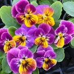【当店農場生産】ビオラ ソルベ アンティークシェード(花なし苗) 9cmポット苗 花壇や寄せ植えに♪