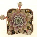多肉植物 ハイブリット センペルビウム パープルビューティー 7.5cmポット苗