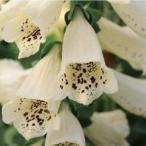 【当店農場生産】ジキタリス ダルメシアン クリーム 9cmポット苗 鉢植えや花壇に最適!