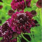 【当店農場生産】スカビオサ クイズ ディープレッド 9cmポット苗 耐寒性 切花種