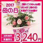 ショッピングバラ メーカー直送 送料無料 ミニバラ鉢植え タマラコルダーナ 母の日 ミニバラ 鉢植え 鉢花 花 フラワー ギフト プレゼント