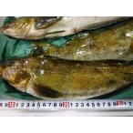 活〆あいなめ 約900g以上(2尾前後入り) 北海道産 アイナメ