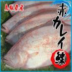 【業務用】鳥取県産 赤カレイ 約5kg (5〜9尾前後入り) かれい 鰈