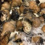 国産 活磯ツブ貝 殻付き 約500g つぶ貝 粒貝