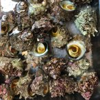 国産 活サザエ 約1kg(1個約100〜130gサイズ) サザエ さざえ 栄螺