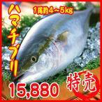 業務用 送料無料 ハマチ ブリ(養殖) 1尾約5�6kg