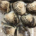 活ホッキ貝 大 (5-7個) 約1kg 殻付 ほっき貝 北海道産 約2-4人前
