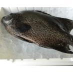 4-5人前 活〆石垣鯛 一尾約1-1.5kg
