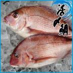 活〆 鯛 1.2-1.8kg タイ たい 鯛 1.2-1.8kg タイ たい