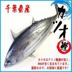 【厳選仕入】カツオ 1尾(約2.6-3.5kg)千葉県産 かつお 鰹【送料無料】