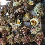 国産 活サザエ 約1kg(1個約180〜200gサイズ) サザエ さざえ 栄螺