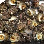 国産 活サザエ 約1kg(1個約80〜100gサイズ) サザエ さざえ 栄螺