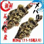 【業務用】石川県産 竹の子メバル 約3kg(11-15尾入り) タケノコメバル
