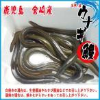 天然  活 うなぎ   鹿児島 宮崎産  約1kg  鰻 ウナギ 期間限定送料無料
