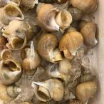 同梱にオススメ品 活 殻付 磯ツブ貝 小または中100g以上(約1-5粒前後)  つぶがい 粒貝 北海道産 お試し