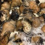 中サイズ 約3−5人前 国産 活磯ツブ貝 殻付き 約350g★築地