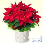 クリスマスフラワー 花キューピットのポインセチア鉢