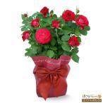 ショッピングバラ 母の日産直ギフト 花キューピットのバラ スカーレットオベーション