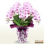 ショッピング花 モテギ洋蘭園胡蝶蘭・お祝い 花キューピットのミディ胡蝶蘭 アヤ5本立(46輪前後)