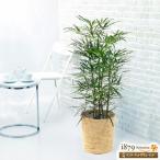 産直 観葉植物(通年) 花キューピットのアラレア (バスケット)