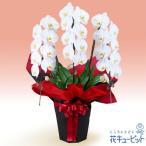 お祝い 花キューピットの胡蝶蘭 3本立(開花輪白24以上)赤系ラッピング