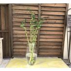 ミリオンバンブー 切り花5本セット ドラセナ 万年竹 富木竹 開運竹 観葉植物 送料無料