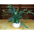 シダ エコプランツ 観葉植物 送料無料