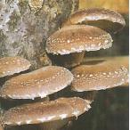 キノコ種菌 種駒菌 しいたけ 103号駒菌 1000駒